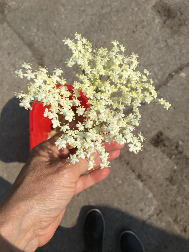 Mai im Glas – Holunderblütengelee